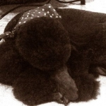 Poodle's picture